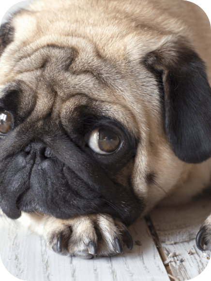 Prevention of social anxiety in dogs